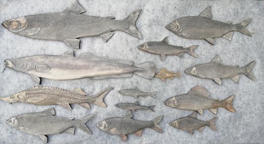 рыбы реки Обь