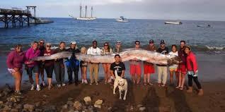 Ikan Sidat Terpanjang