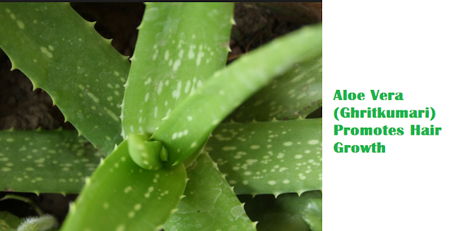 Aloe Vera (Ghritkumari) Promotes Hair Growth