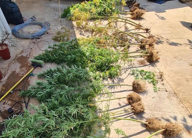 Σύλληψη για ναρκωτικά στην Κορινθία  - Κατασχέθηκαν 22 δενδρύλλια κάνναβης