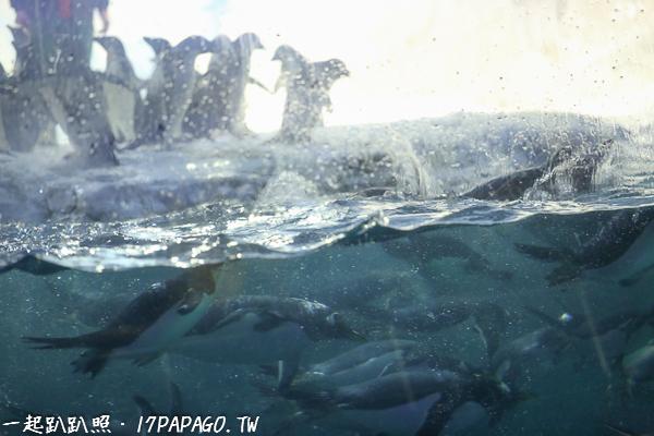 企鵝下水後的泳技也是很高超的
