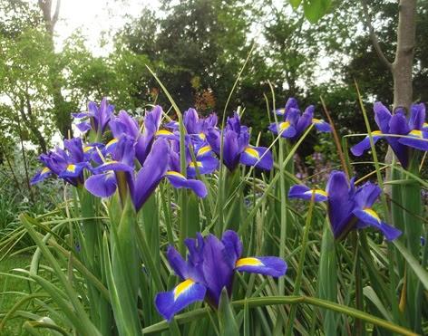 iris español