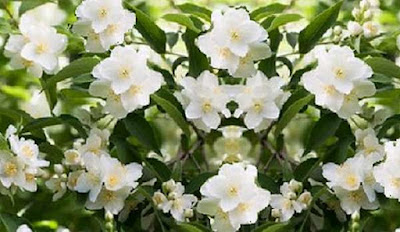 Spanish jasmine or Chameli Flowers