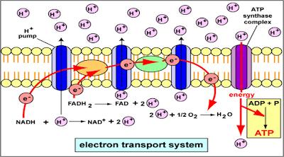 Transpor Elektron