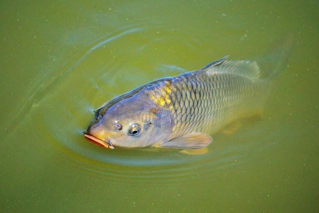 Cara Memancing Ikan Mas Lengkap Mudah Strike