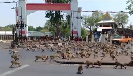 Ratusan monyet turun ke jalanan