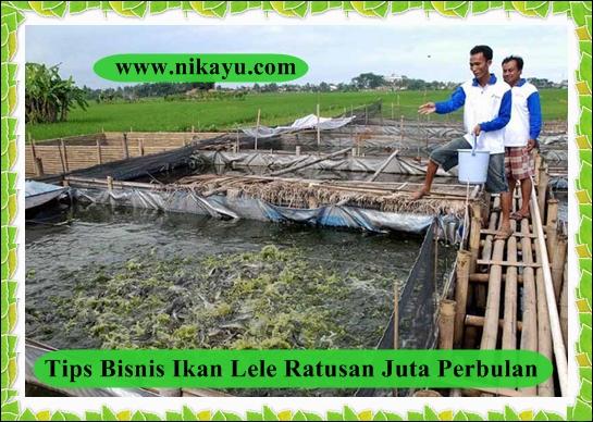 Bisnis Ikan Lele, Melonjak Tajam Ditengah Pandemi Covid-19