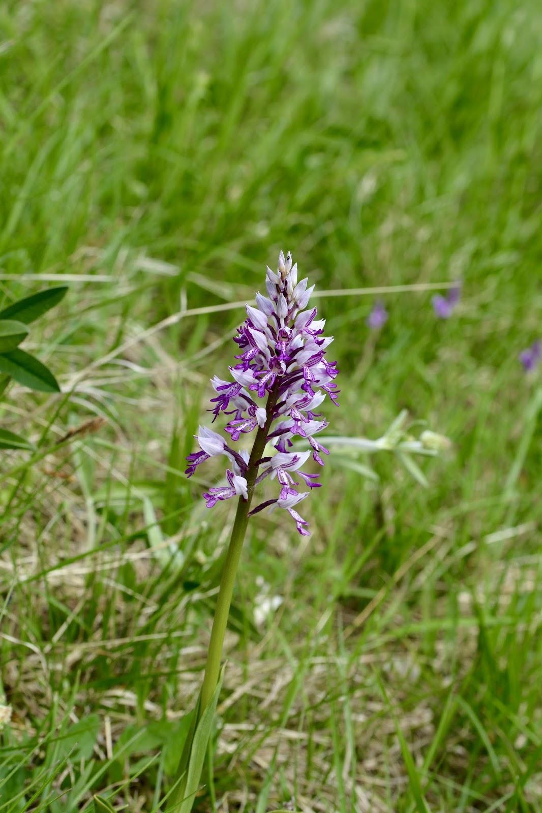 orchidee sauvage haute savoie