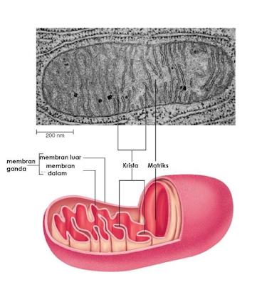 Gambar  . Mitokondria