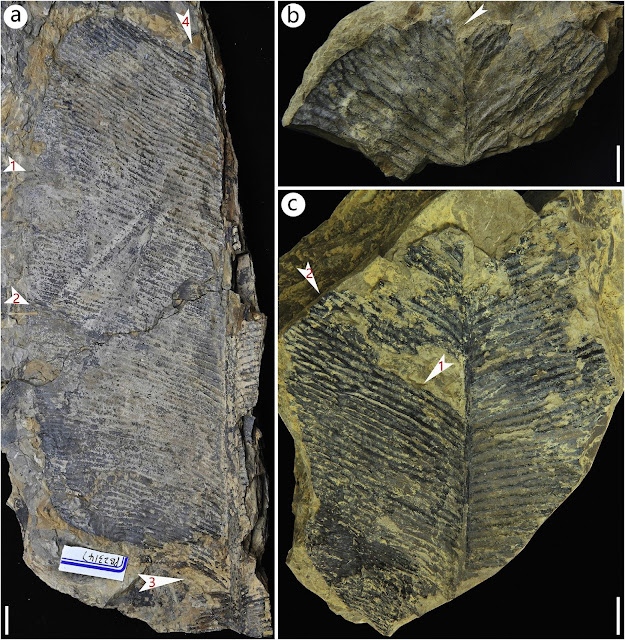 New anthrophyopsis fossil material discovered in Sichuan Basin, China