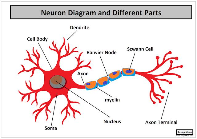 Neuron Diagram, Diagram of Neuron, Neuron Structure