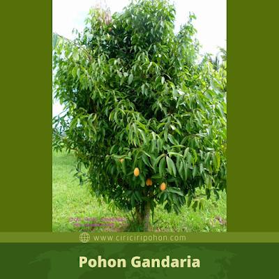 Ciri Ciri Pohon Gandaria