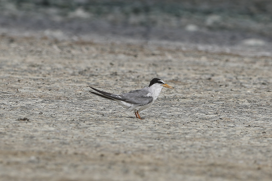 Little Tern - adult