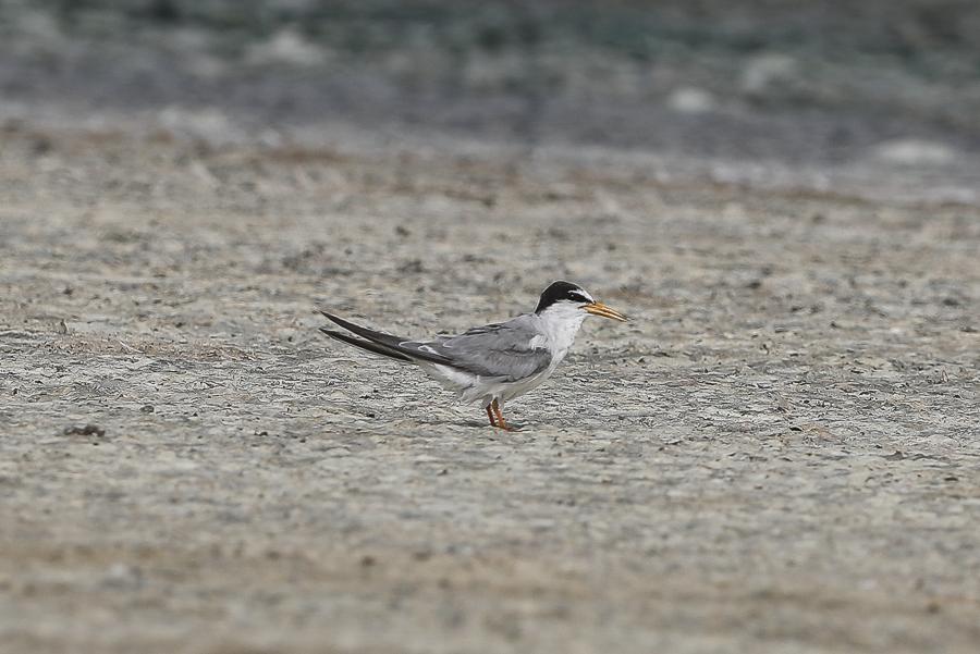 Little Tern - adult