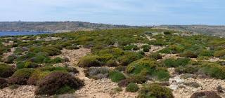 La flora típica de la isla de Comino, Malta.