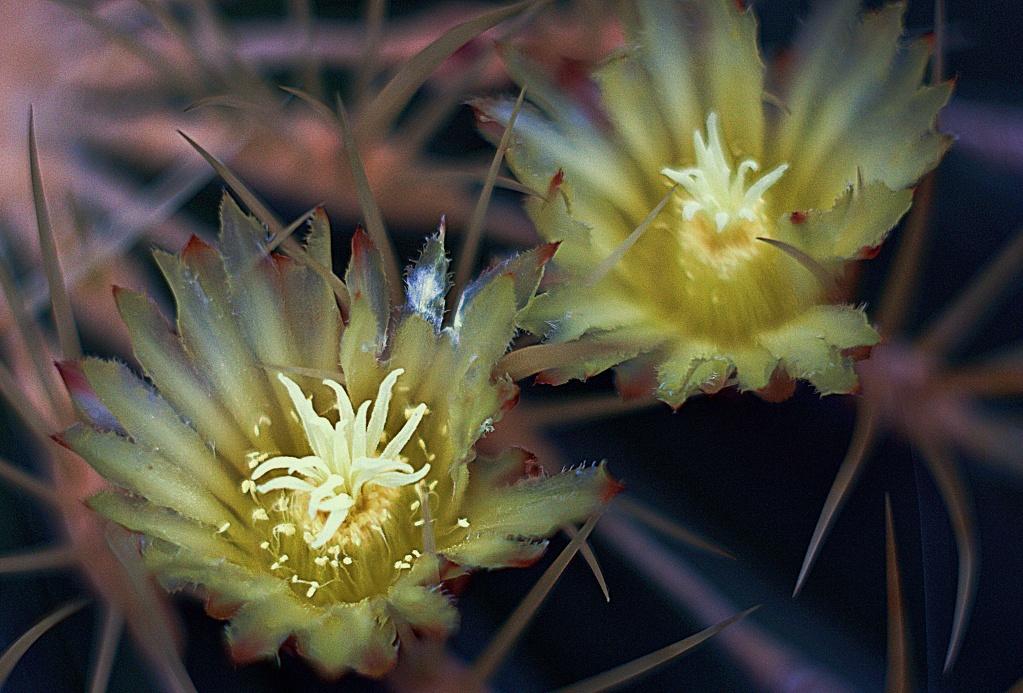 #244 Helios-44 f2 58mm - Kaktusblüte