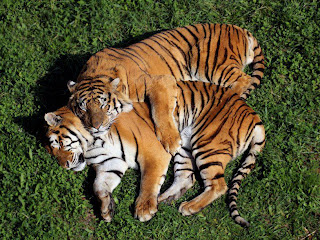 Pareja de Tigres de Bengala pasto