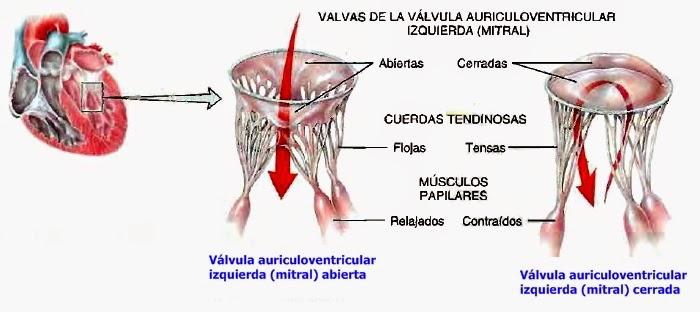 Válvulas cardíacas y la circulación