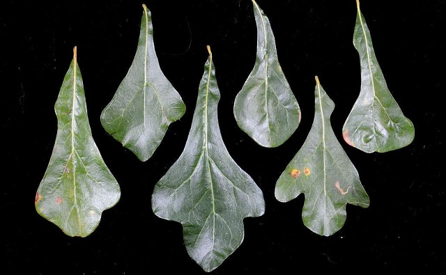 Hojas de ROBLE NEGRO Quercus nigra