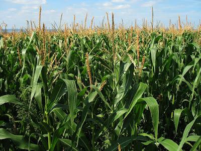 plantación de maiz