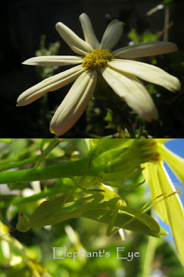 Senecio and preying mantis