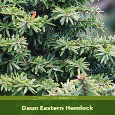 Ciri Ciri Daun Eastern Hemlock