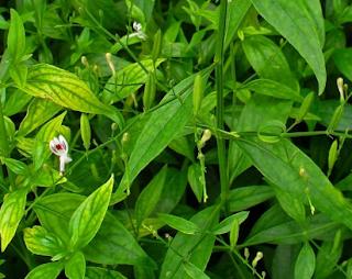 Tanaman Obat Herbal Yang Ampuh Untuk Mengobati Stroke