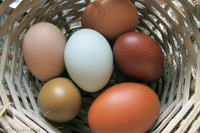 Accidents do happen and occasionally an egg will become soiled with droppings or dirt carried into the nest box by a wet hen, but 99% of eggs from backyard chickens should be clean when collected. Here are some simple steps to ensure clean eggs.