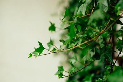 English Ivy hanging plant