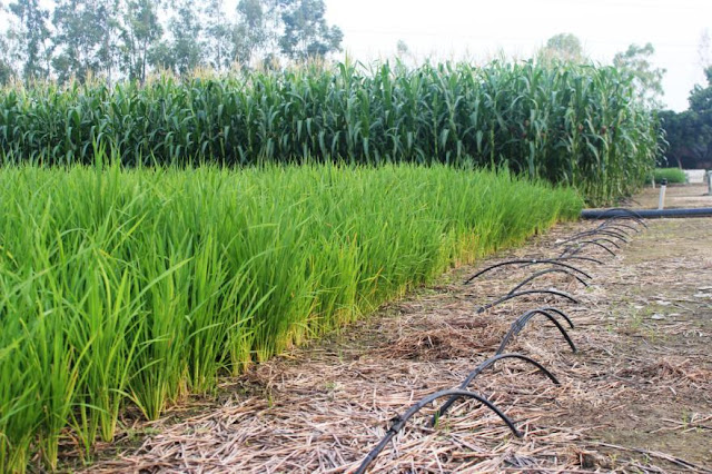 Sub-Surface Irrigation Pipelines for rice wheat maize systems in CSSRI Karnal