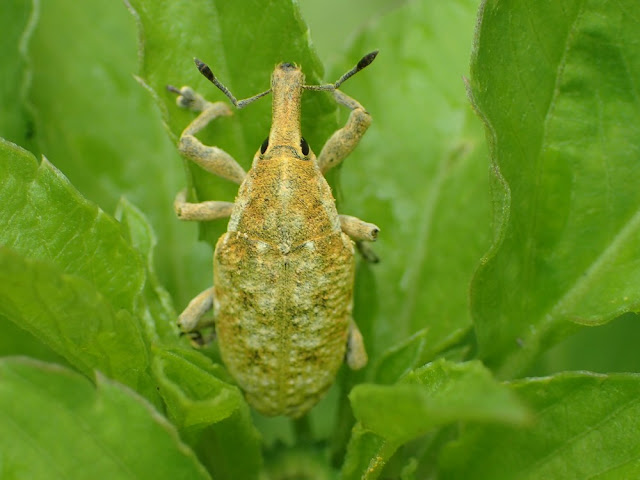 Xanthochelus faunus
