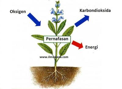 Proses Pernafasan Tumbuhan