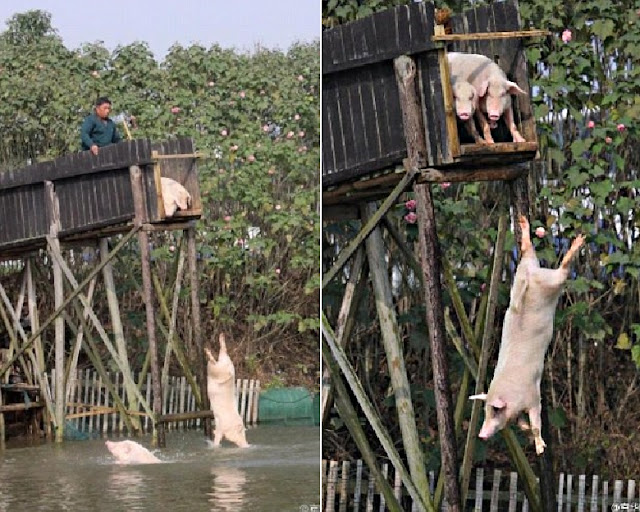 This Farmer Make His Pigs Jump from 10-Feet Platform. Find Out Why!