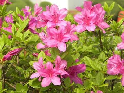 Growing The Azalea Plant: How to Care The Azalea Flower