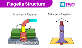 Flagella : Structure, Functions, Examples