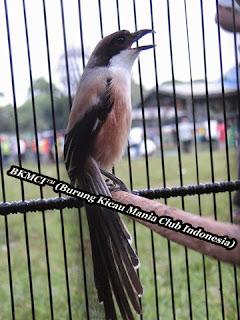 Burung Cedet / Pentet