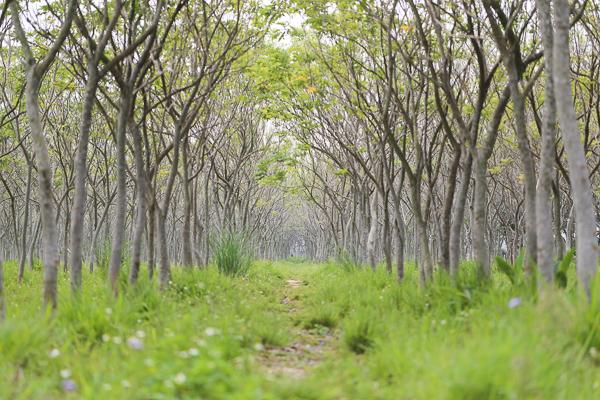 台中后里龍貓隧道無患子森林,數十條600米隧道拍美照不用人擠人