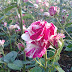 Pink and White Roses (Roses Mix)