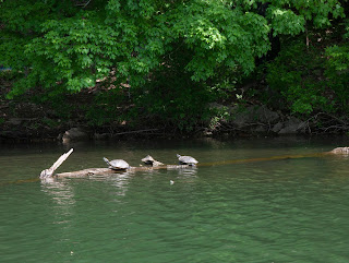 A photo of three turtles on a long on Lake Ann in Bella Vista.