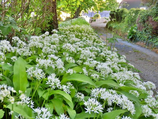 Wild garlic along the lanes in Cornwall