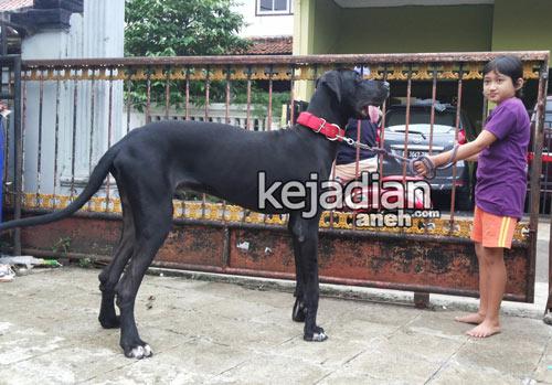 13 Mitos Aneh Memelihara Anjing Raksasa Di Indonesia