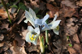 Algerian (Winter) Iris (Iris unguicularis)