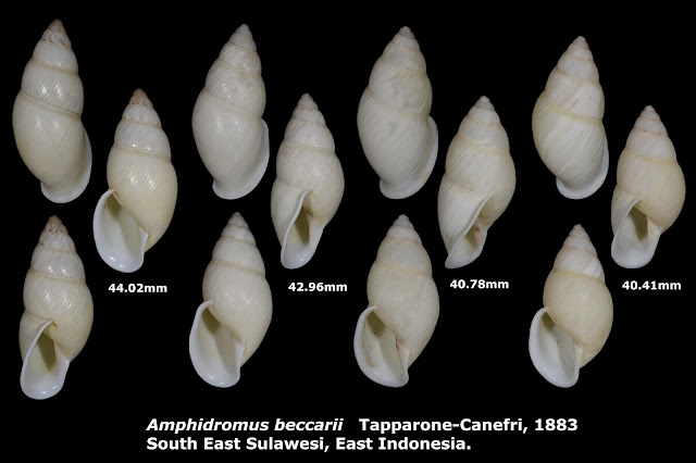 Amphidromus beccarii 40.41 to 44.02mm