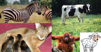 Kelompok mamalia adalah spesies yang menguasai bumi karena manusia adalah mamalia. Kelompok ini memiliki ciri sebagai berikut : Jantung terbagi menjadi 4 ruangan, yaitu 2 serambi dan 2 bilik Pada umumnya bersifat vivipar (beranak) namun ada juga yang ovipar seperti platypus Fertilisasi secara internal dan perkembangan embrio didalam tubuh induknya Alat gerak berupa 2 pasang tungkai Permukaan tubuh ditutupi rambut dan memiliki pori-pori Bersifat homoiterm (berdarah panas)  Mamalia dibagi menjadi beberapa kelompok :  1. Monotremata adalah satu-satunya mamalia yang bertelur, contohnya platypus. 2. Insectivora adalah mamalia kecil pemakan serangga, contohnya celurut. 3. Marsupialia merupakan mamalia berkantong, contohnya kangguru, koala, dan kuskus. 4. Rodentia adalah mamalia yang memiliki giri seri tumbuh lurus seperti pahat, contoh tikus, marmut, dan landak.. 5. Chiroptera merupakan mamalia yang dapat terbang karena diantara jari terdapat selaput kulit untuk terbang, contohnya kelelawar. 6. Pholidota merupakan mamalia yang tidak memiliki gigi, tubuhnya terbungkus sisik dari zat tandyj dan rambut dan juga lidah kecil dan panjang, contohnya trenggiling. 7. Carnivora adalah mamalia pemakan daging, memiliki gigi kuat dan taring bersar & tajam, contohnya singa dan harimau. 8. Cetacea merupakan mammalia yang hidup di air, contohnya paus dan lumba-lumba. 9. Proboscidea merupakan mamalia  berbelalai. Belalai adalah modifikasi hidung dan bibir atas yang panjang, contohnya gajah. 10. Sirenia, contohnya dugong 11. Artiodactyle adalah mamalia yang memiliki kuku genap, contohnya kambing. 12. Perrisodactyle adalah mamalia yang memiliki kuku tunggal, contohnya kuda, tapir, dan badak. 13. Primata adalah mamalia yang matanya stereoskopo menghadap kedepan, contoh kera dan orang utan.