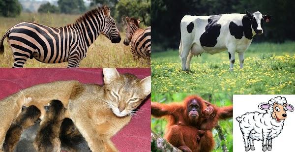 Ciri-Ciri Mammalia dan Pembagian Kelompoknya Lengkap