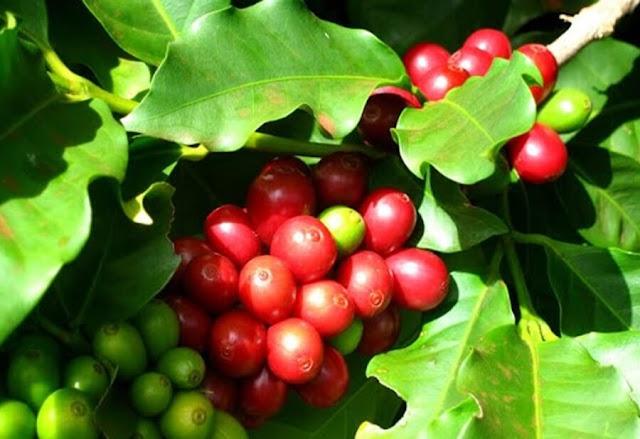 Giá cà phê hôm nay 23/7: Trên đà tăng mạnh