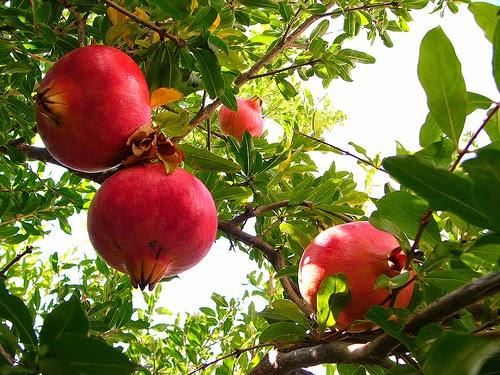 أشجار الرمان