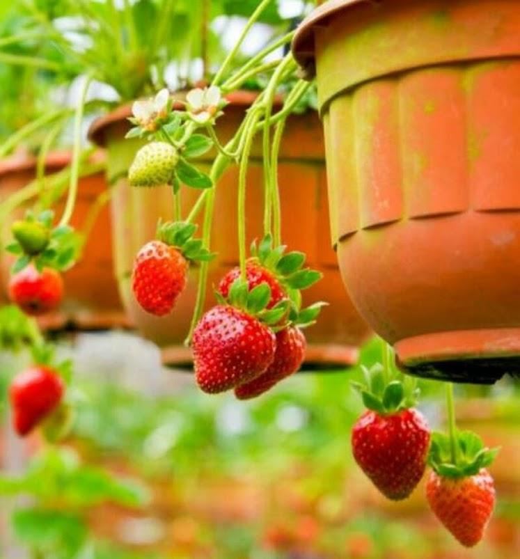 Biji Buah Milk Strawberry Rare Indoor Organik Fruit Seeds Pasuruan