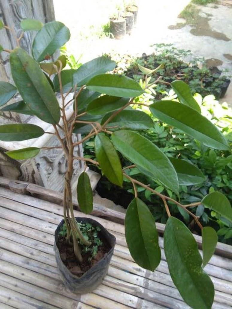 Bibit durian bawor kaki 3 WISATA FLORA Pekanbaru