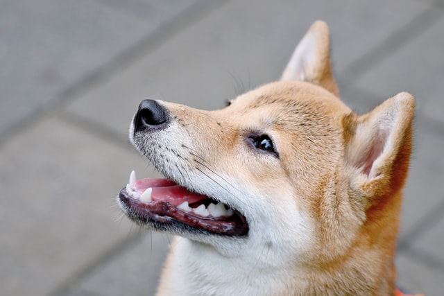What is The Shiba Inu Coin? Should you Buy?